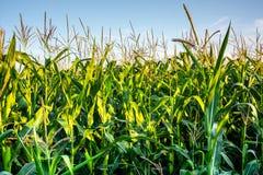 Frischer organischer Grünkern, der auf Feld gegen blauen Himmel heranwächst Stockfotografie