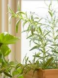 Frischer organischer Rosmarin, der im Küchenfenster wächst Stockbild