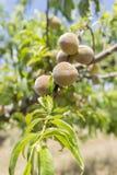 Frischer Pfirsich vom Obstgarten Lizenzfreies Stockfoto