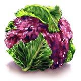 Frischer purpurroter Blumenkohl mit Grünblättern, lokalisierter Gegenstand, Aquarellillustration auf Weiß vektor abbildung