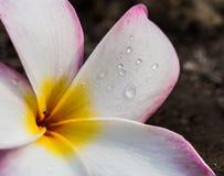 Frischer Regen fällt auf Blumenblätter der Tempelbaumblume (Plumeria spp. Stockfotografie