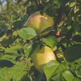 Frischer reifer Apfel Stockfotografie