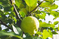 Frischer reifer Apfel Lizenzfreie Stockbilder