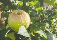 Frischer reifer Apfel Stockfotos