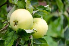 Frischer reifer roter Apfel, der auf einem Apfelbaum wächst Lizenzfreies Stockfoto