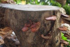 Frischer reishi Pilz für Anzeige Stockfotos