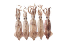Frischer roher Calamari lizenzfreies stockbild
