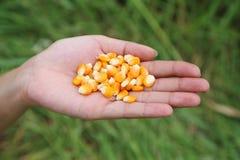 Frischer roher Mais in der Hand Lizenzfreie Stockfotografie