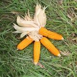 Frischer roher Mais nach Ernte Lizenzfreies Stockfoto