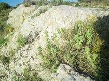 Frischer roher Salbei im Berg Kraut des wilden Salbeis wächst auf dem Feld Griechische Kräuter lizenzfreie stockfotos