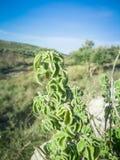 Frischer roher Salbei im Berg Kraut des wilden Salbeis wächst auf dem Feld Griechische Kräuter lizenzfreie stockbilder
