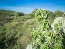 Frischer roher Salbei im Berg Kraut des wilden Salbeis wächst auf dem Feld Griechische Kräuter stockbild