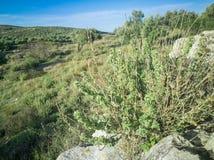 Frischer roher Salbei im Berg Kraut des wilden Salbeis wächst auf dem Feld Griechische Kräuter stockfoto