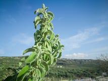 Frischer roher Salbei im Berg Kraut des wilden Salbeis wächst auf dem Feld Griechische Kräuter lizenzfreies stockbild