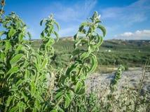 Frischer roher Salbei im Berg Kraut des wilden Salbeis wächst auf dem Feld Griechische Kräuter stockfotos