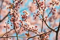 Frischer rosa Kirschblüte-Blütenbaum in der Sonne mit Weichzeichnung lizenzfreies stockfoto