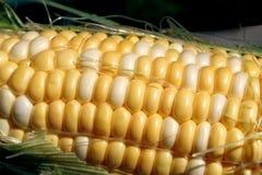Frischer süßer Mais Lizenzfreies Stockfoto