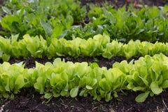 Frischer Salat auf Bett im Sonnenlicht Lizenzfreie Stockfotos