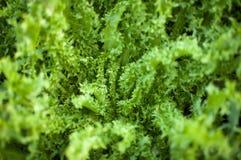 Frischer Salatkopfsalat lizenzfreies stockfoto