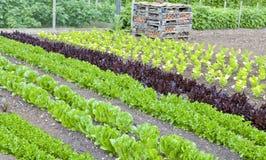 Frischer Salatkopfsalat, Sellerie, der in einer Zuteilung wächst Stockbild