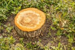 Frischer Schnittstumpf des ZupackenApfelbaums Stockbilder