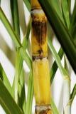 Frischer Sugar Cane Lizenzfreie Stockfotos