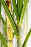 Frischer Sugar Cane Lizenzfreies Stockfoto