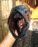 Frischer Thunfisch, gerade gefangen im Meer stockfotografie