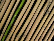 Frischer und getrockneter Bambus Lizenzfreie Stockfotos