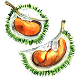 Frischer und reifer Durian, König von Früchten, lokalisiert, Aquarellillustration lizenzfreie abbildung