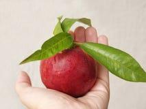 Frischer vollständiger Pfirsich in einer Hand Stockfoto