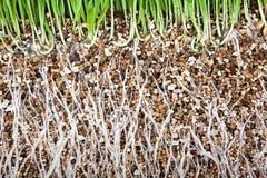 Frischer wachsender Vermiculit der Wurzel des grünen Grases stockfoto