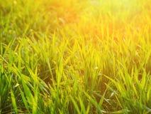 Frischer Weizen auf Feld im Sonnenlicht Stockbild