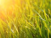 Frischer Weizen auf Feld im Sonnenlicht Stockfoto