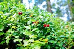 Frischer wilder Lingonberry im Wald stockfoto