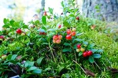 Frischer wilder Lingonberry im Wald lizenzfreie stockbilder