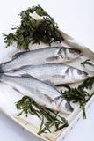 Frischer Wolfsbarsch mit Seeunkraut Lizenzfreies Stockfoto