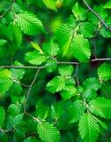 Frisches üppiges grünes Laub des Baums, Naturhintergrund stockfoto