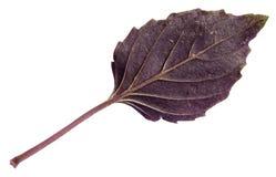 Frisches Blatt des purpurroten Basilikumkrauts lokalisiert Lizenzfreies Stockbild