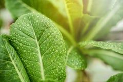Frisches Blatt von grünem Lattich mit Tröpfchen und Sonnenlicht in Wasserkultur Stockfotos