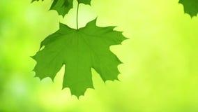Frisches Frühlings-Ahornblatt, das in den Wind auf unscharfem grünem Hintergrund beeinflußt stock video footage
