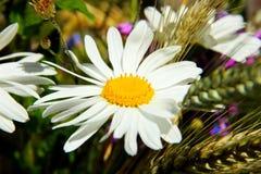 Frisches Gänseblümchen auf dem Maissaatguthintergrund Lizenzfreies Stockbild
