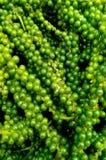Frisches Grün pfeffern Lizenzfreie Stockfotografie