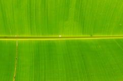 Frisches grünes Bananenblatt stockfotos