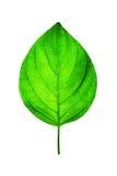 Frisches grünes Blatt auf Weiß Stockbild