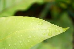 Frisches grünes Blatt mit Tautropfen des Nestfarns des Vogels ist eine epiphytic Anlage in der Aspleniaceaefamilie stockbild