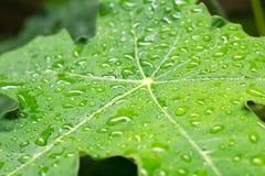 Frisches grünes Blatt mit Wassertröpfchen stockfoto