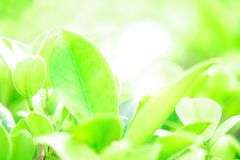Frisches grünes Blatt und Überbelichtung des Sonnenlichts auf grüne Natur unscharfem Hintergrund stockfotos