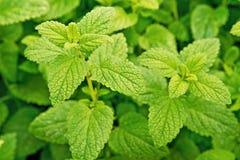 Frisches grünes Blatt von Melisse über Weiß lizenzfreie stockfotografie