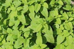 Frisches grünes Blatt von Melisse über Weiß Stockbild